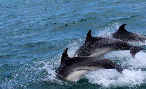 delfines-en-mar-abierto